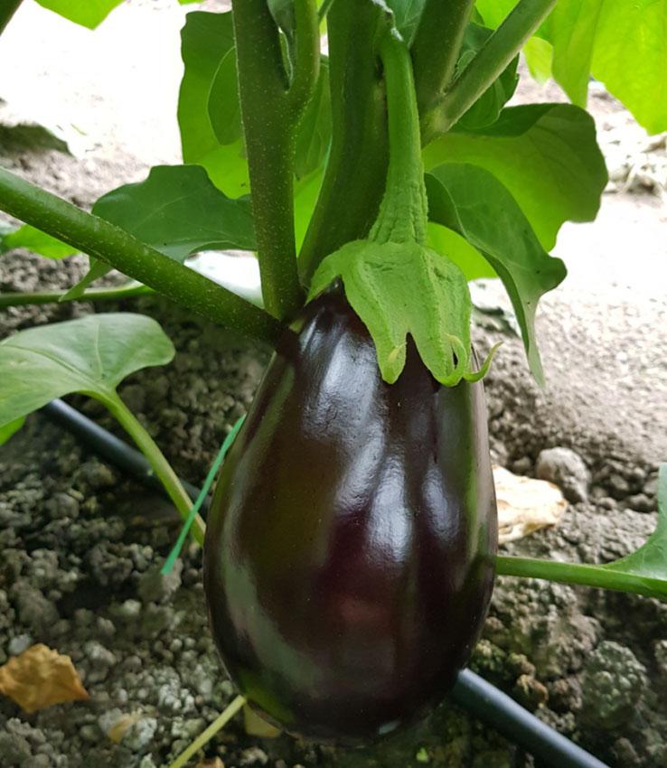 eggplant es 3591 f1