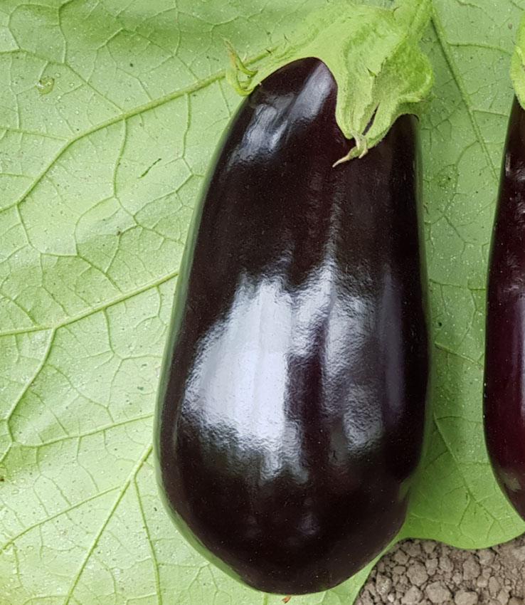 eggplants es 3592 f1