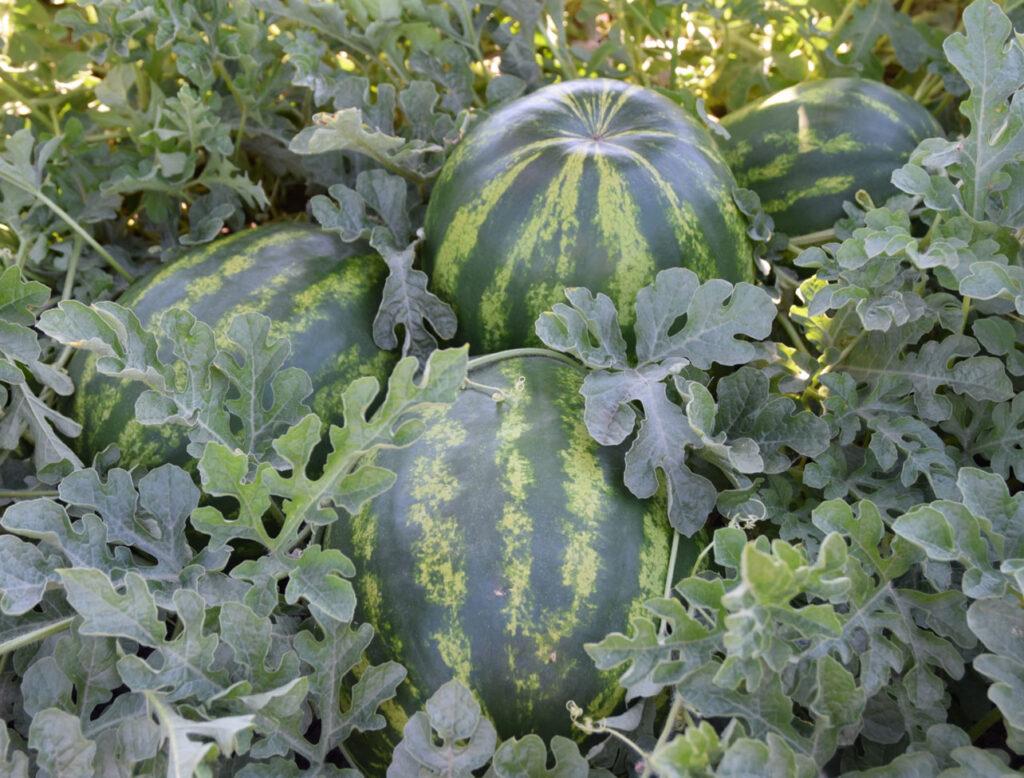 crimson sweet watermelon es 75111 f1
