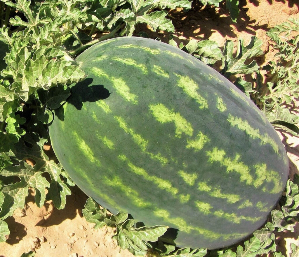 crimson sweet watermelon es 75114 f1