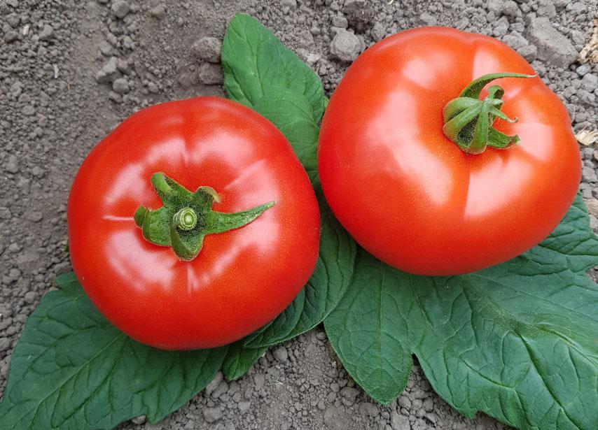 determinate round tomatoes es 9344 f1