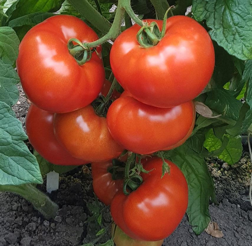 determinate round tomatoes es 961 f1