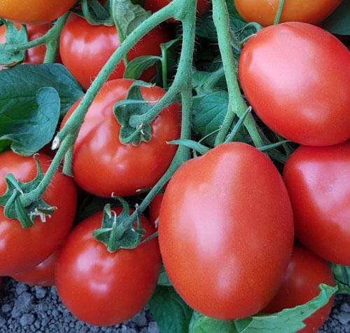 determinate blocky tomatoes es 9152 f1