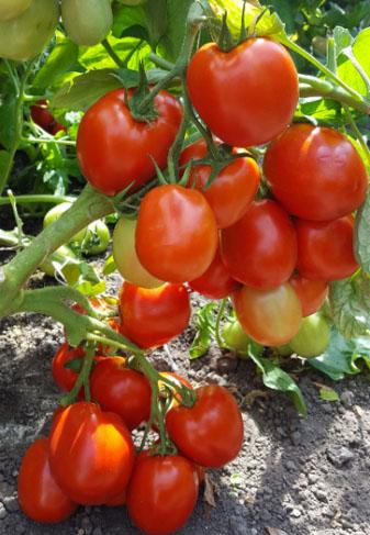determinate blocky tomatoes es 9199 f1