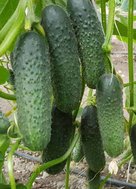 pickling cucumbers es 2228 f1 alt