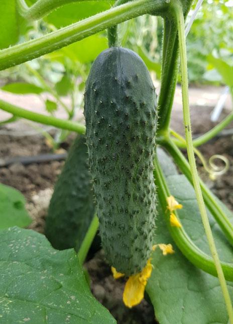 pickling cucumbers es 2241 f1 alt