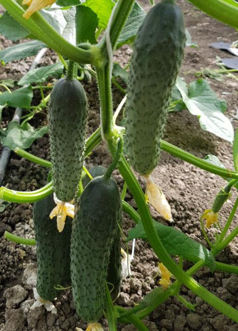 pickling cucumbers es 2241 f1
