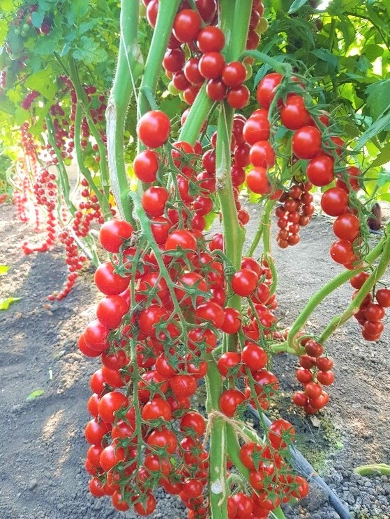 candy tomatoes es 51076 f1