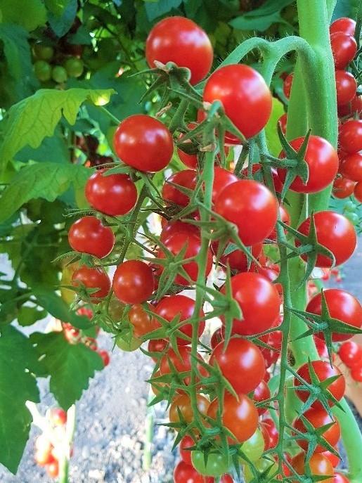 cherry tomatoes es 5005 270 f1