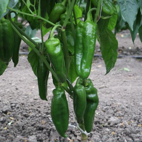 sweet peppers es 6682 f1