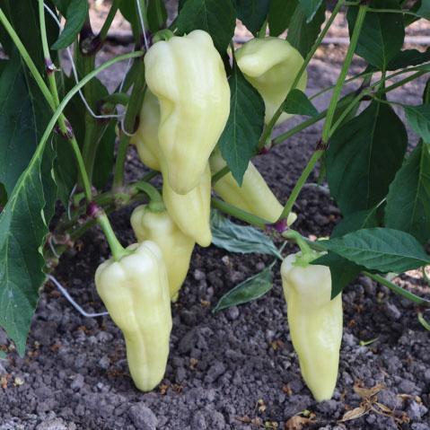 sweet peppers es 6684 f1