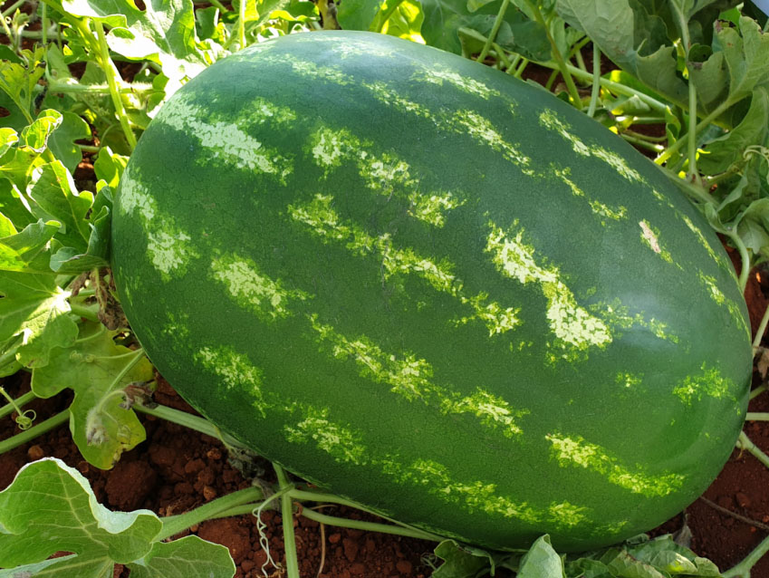 crimson sweet watermelon es 75127 f1