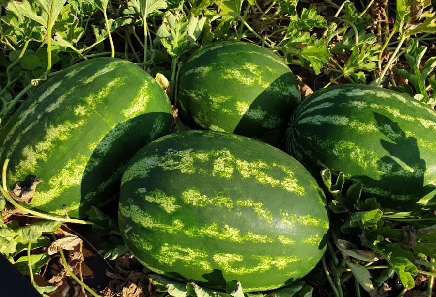 crimson sweet watermelons es 75127 f1